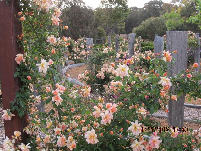 crepuscule rose maze